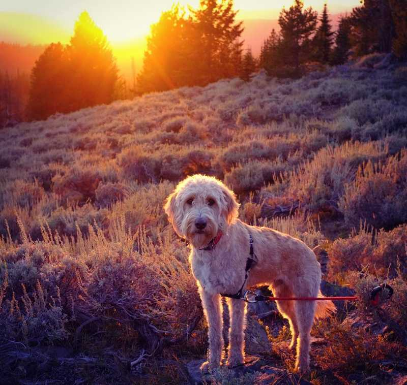 Rainier the labradoodle in the Oregon wilderness